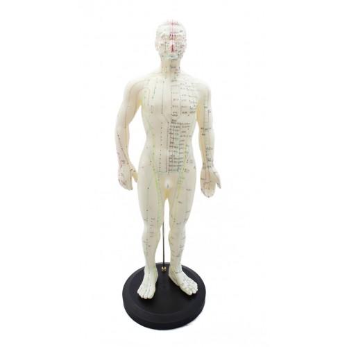 Modelo cuerpo humano hombre