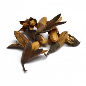 SAN JIAN SHAN - Cephalotaxaceae
